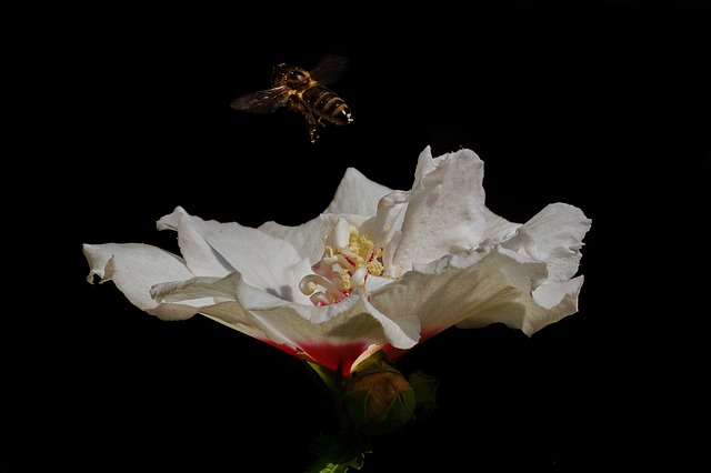L'hibiscus blanche et abeille