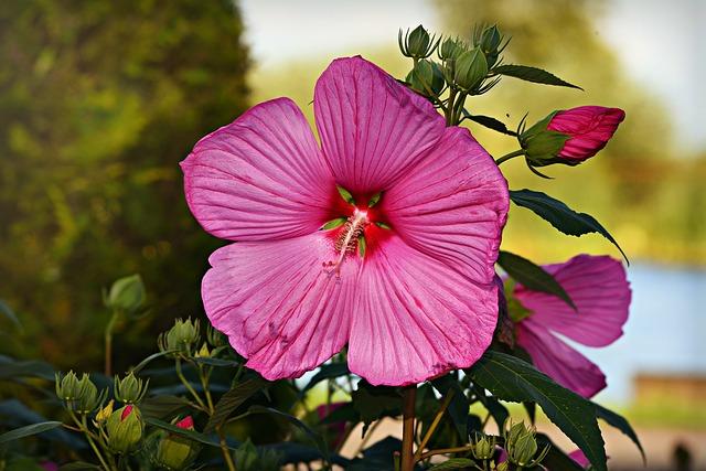 Fleur de l'hibiscus rose